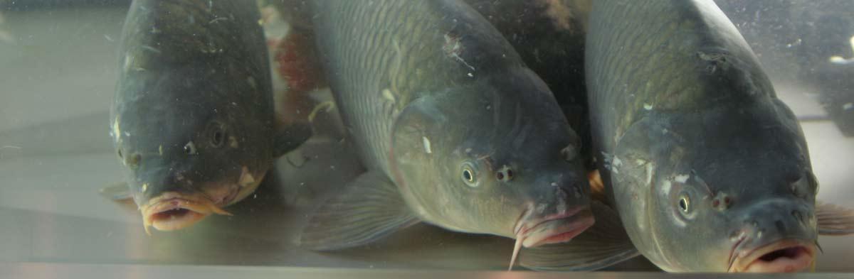 Živé ryby v prodejně ryb v Třeboni